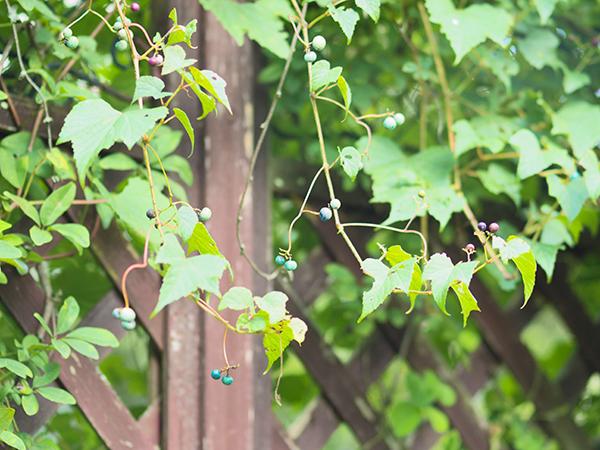 フェンスのノブドウ
