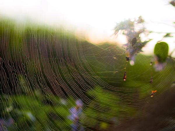 ジョロウグモの巣とヨメナ?