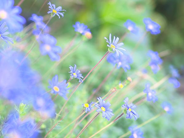 ひまわり市場の近くのお花たち、ブルーデイジー