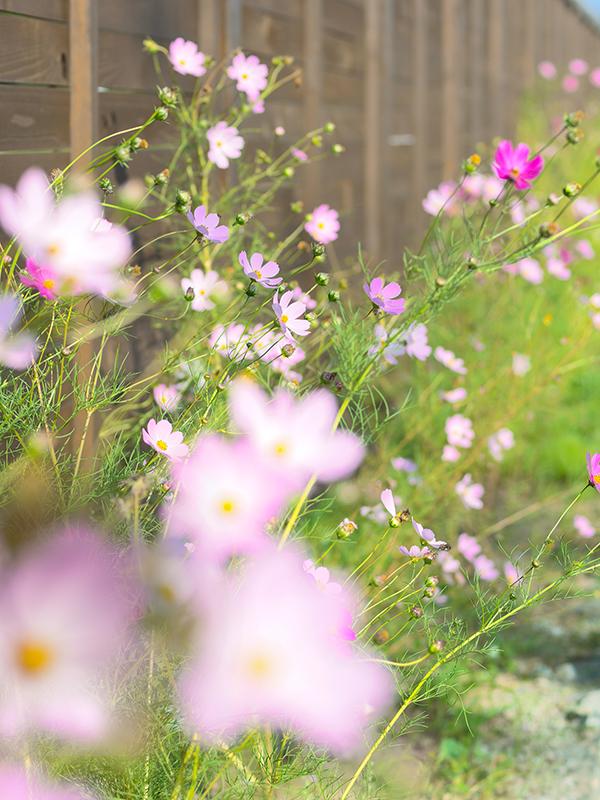 ひまわり市場の近くのお花たち、コスモス