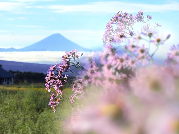 富士山とヨメナ?