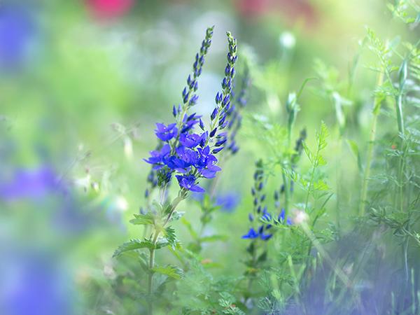 ベロニカ ブルーの花