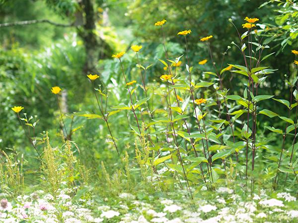 ペンションメルヘン 辺レオプシスサマーナイトの黄色が目立つ庭