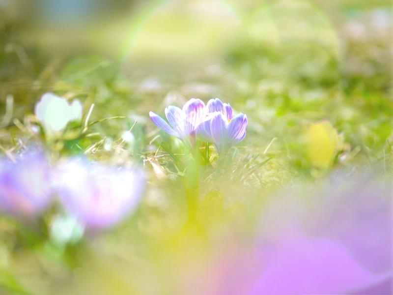 春先、一番先に咲くクロッカス