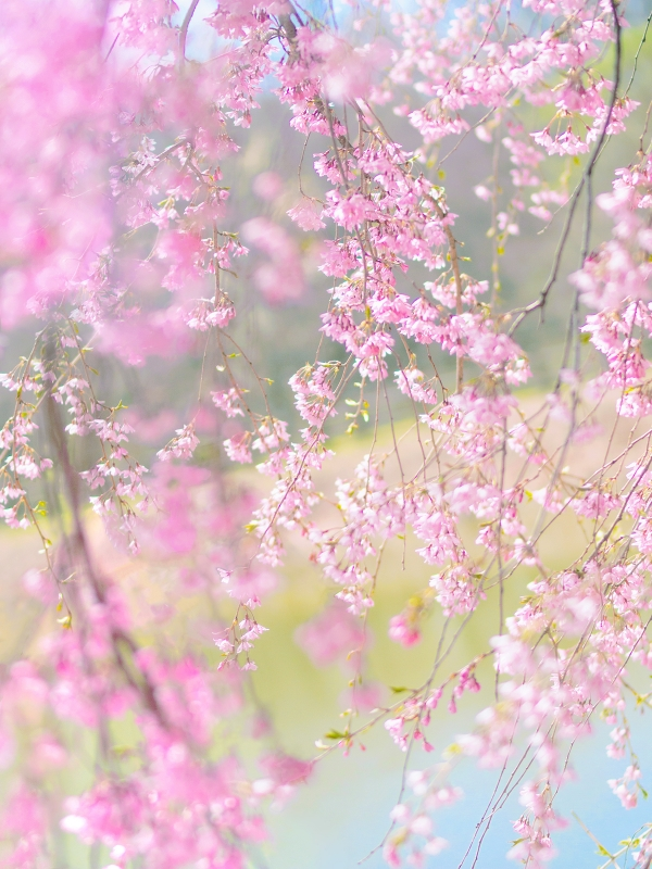 飛沢の池、枝垂れ桜
