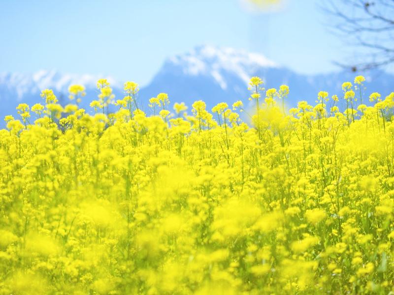 菜の花 黄色い夢の風船
