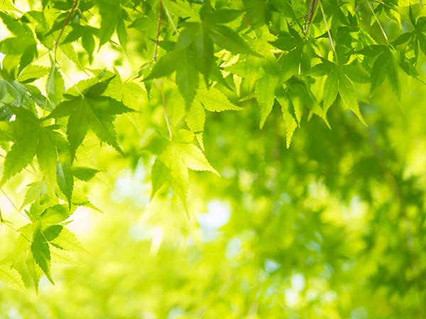 飛沢 もみじの緑