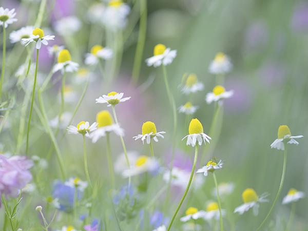 八ヶ岳花遊びさんの花畑 カモミール