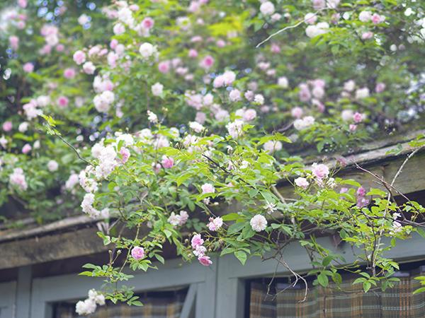 ご近所のお庭、つる性ムスク