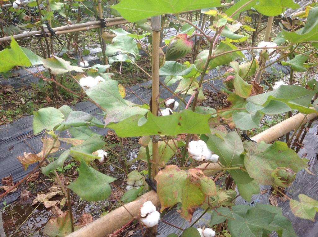三回目綿収穫