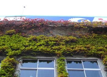 甲子園球場のツタ紅葉