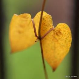 ヘクソカズラ黄葉