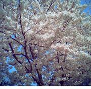 ビビッド桜