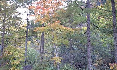 信州・中房温泉への秋の森