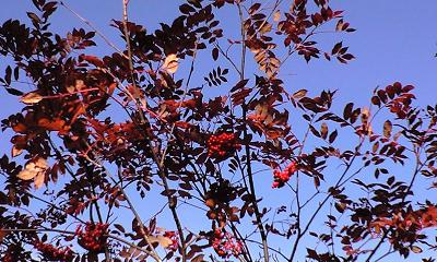 信州・小谷村の鎌池のナナカマドの赤