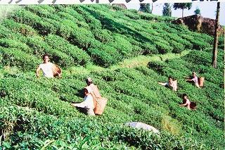ジュンパナ茶園・ファーストフラッシュ