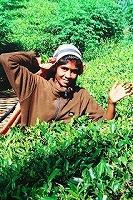 スリランカの茶摘みさん