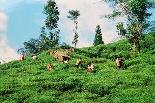 ジュンパナ茶園