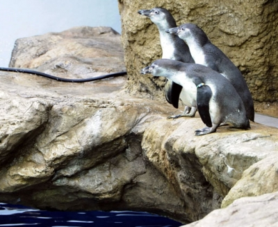 【いきもの】「いー」「わー」「みー」「かー」「ぐー」「らー」 ペンギン命名式 しまね海洋館アクアス(がぞうあり)