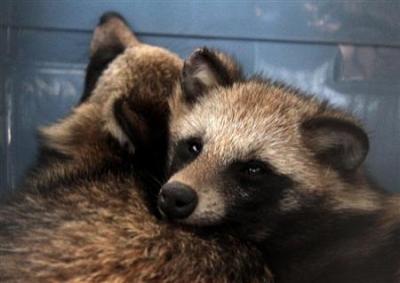 【動物】 原宿でタヌキ2匹保護…寄りそうようにじっと(画像あり)