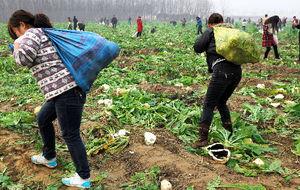 【国際】 「大根あげます」に1万人が殺到 近くの畑からイモや野菜も略奪される…中国(写真あり)