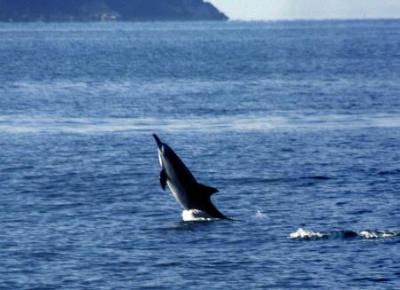 【兵庫】 瀬戸内海では1頭を見かけることさえ珍しい イルカ約20頭の群れ、播磨灘に(写真あり)