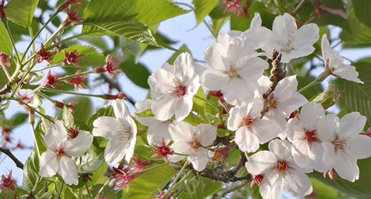 0409桜