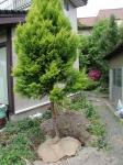 根回し中の植木