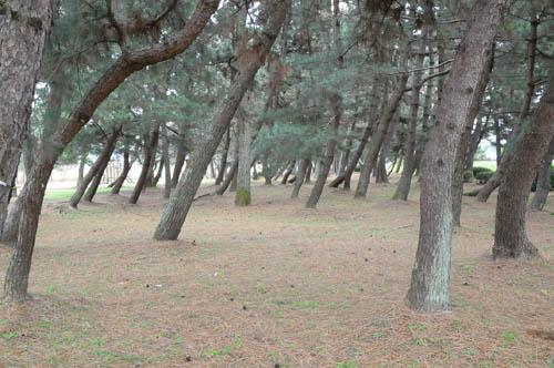 湖岸の松林