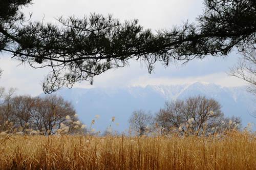 松林から見る雪の比良山系
