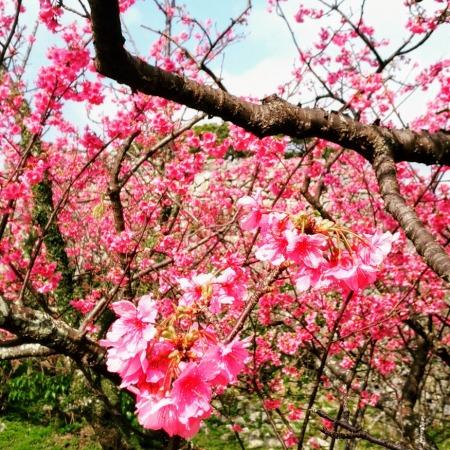 今帰仁城の寒緋桜