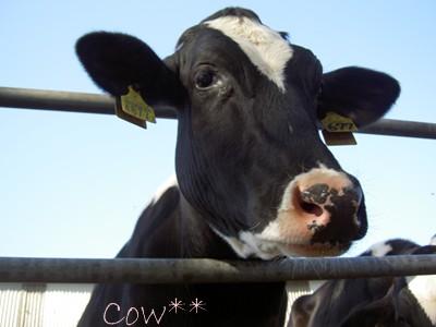 牛ですが、なにか??