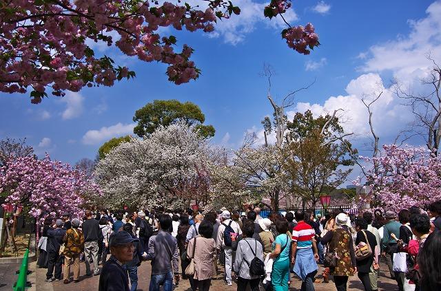 造幣局 桜のとおりぬけ