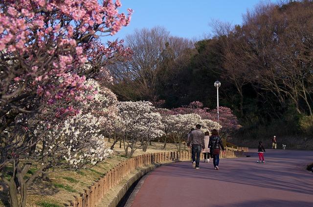 堺市 荒山公園 梅林