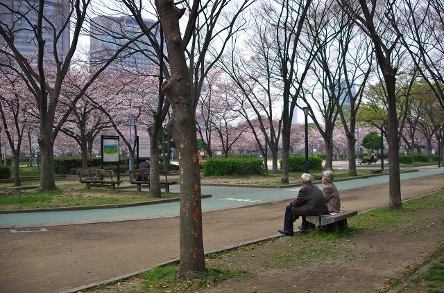 毛馬桜之宮公園 桜 お花見