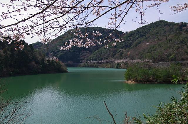堀河ダム 桜 お花見
