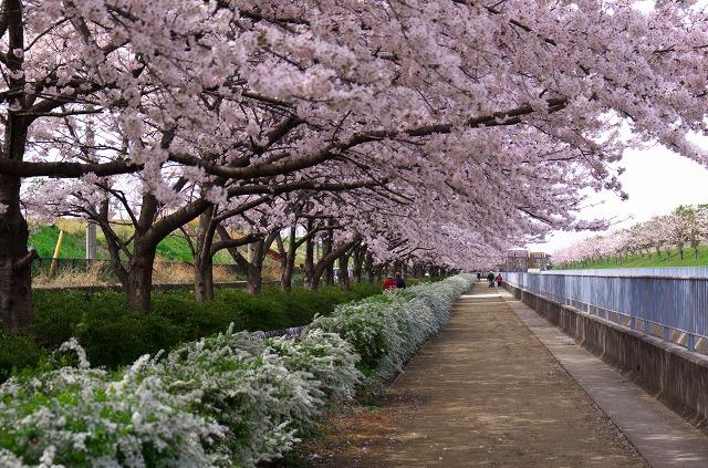 大井水みらいセンター 桜 お花見