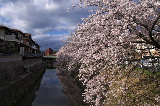 柏原市 原川沿い 桜並木 花見