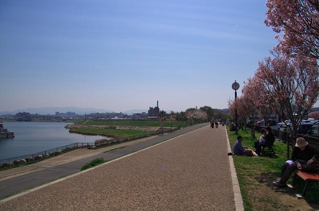 狭山池 桜並木 花見