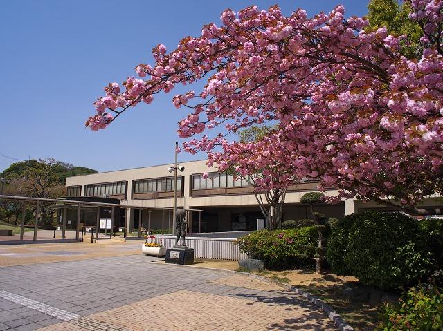羽曳野市役所 八重桜 チューリップ