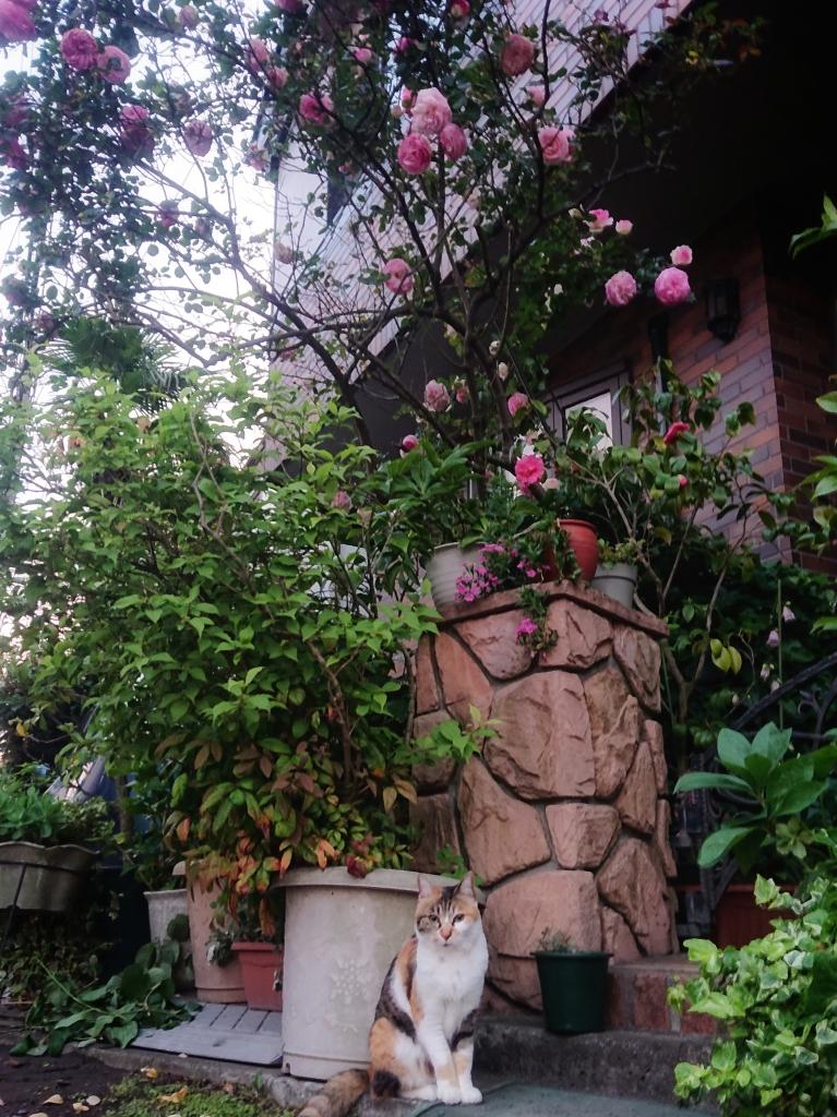 ご近所のネコ&バラ