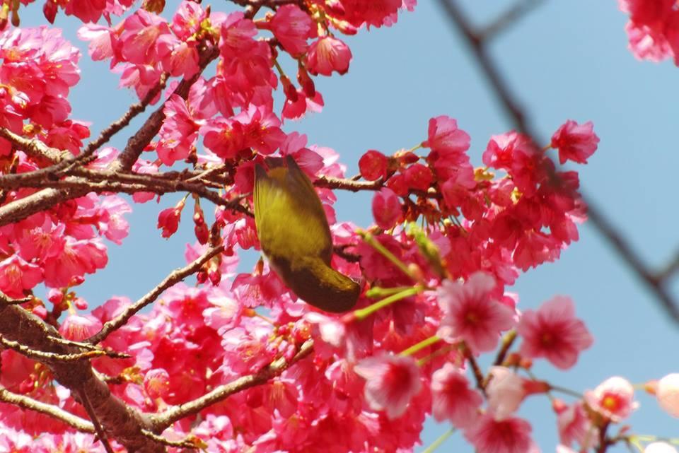 緋寒桜の蜜を吸うメジロ