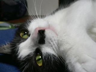 コロネ、猫
