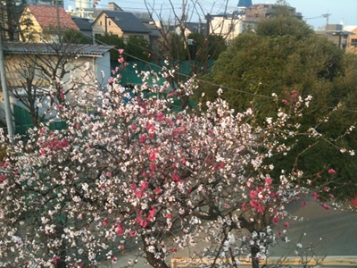 20110330 桜