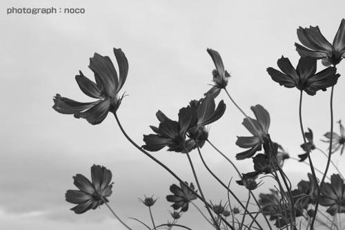 秋桜/TAMRON AF28−300mm F3.5−6.3 XR Di