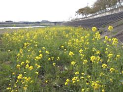 若柳堤防 菜の花
