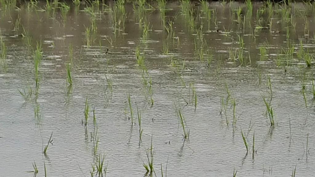 田んぼに降る雨