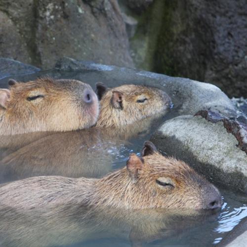カピバラ露天風呂