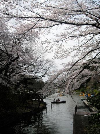 善福寺公園 桜満開 お花見