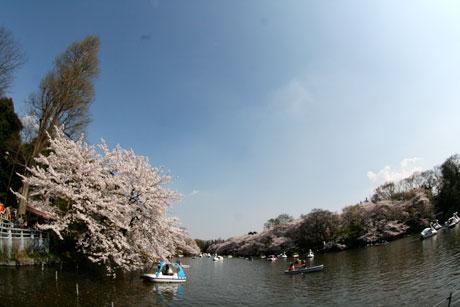 井の頭公園 桜 お花見 2009